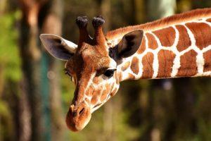 A giraffe's head. NVC